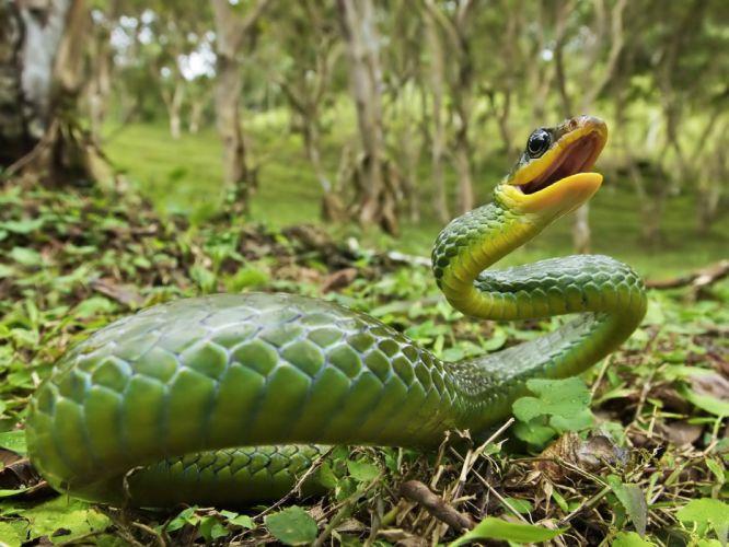 serpiente verde ataque reptil wallpaper