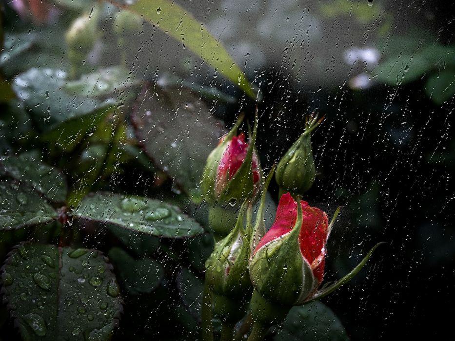 lluvia gotas capullos naturaleza wallpaper