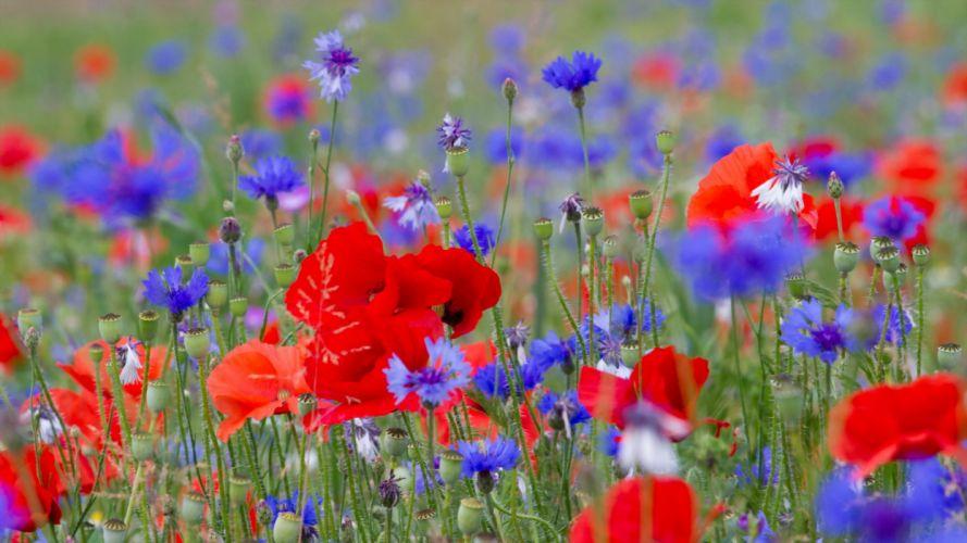 flores naturaleza campo amapolas wallpaper