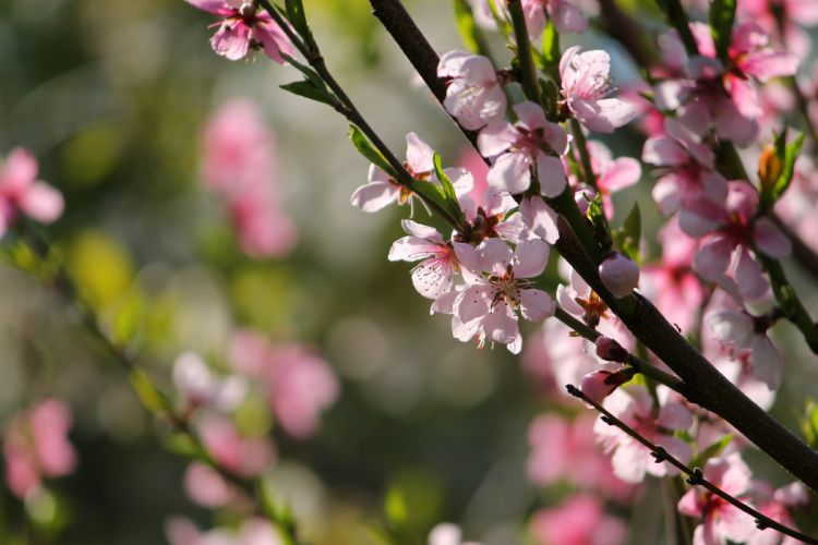 peach blossom flowers spring wallpaper