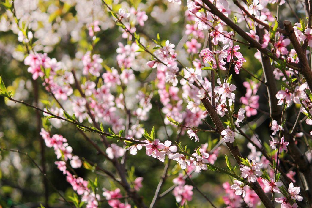 peach blossom flowers spring bokeh wallpaper