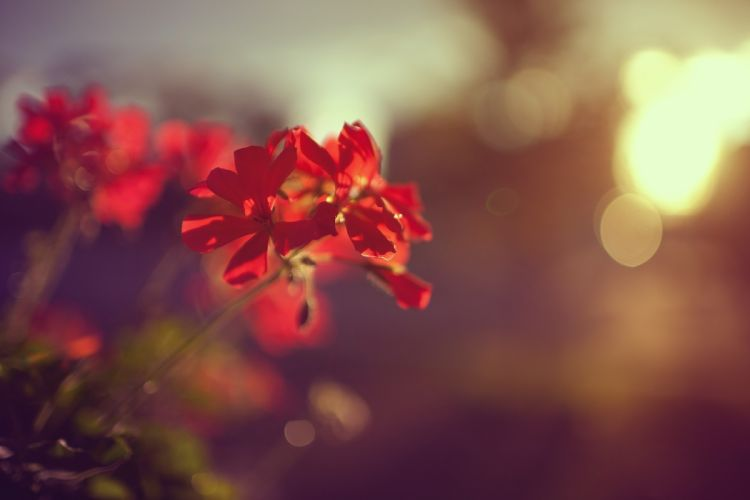 plant flower red macro wallpaper