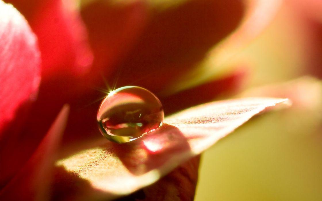 macro plant flower drop dew wallpaper