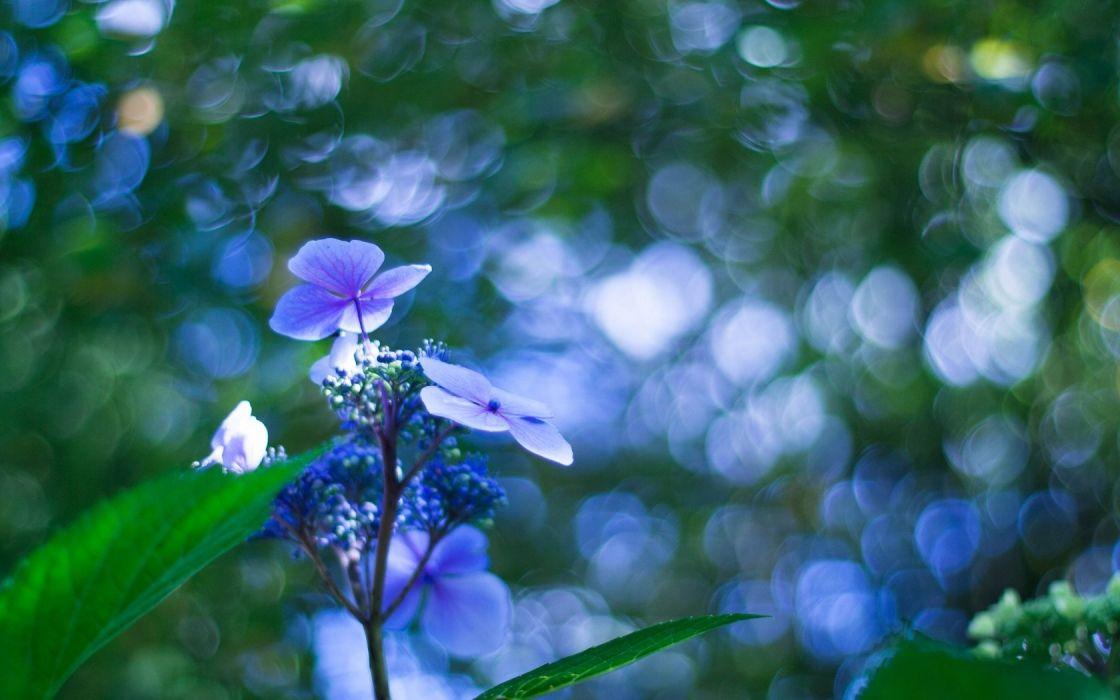 macro bokeh flower blue wallpaper
