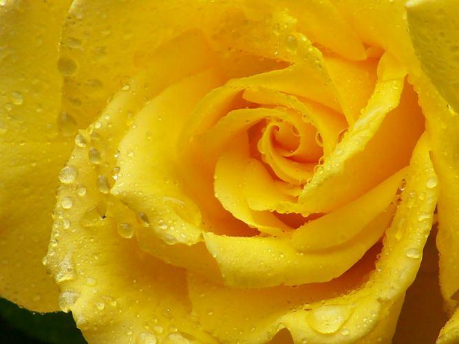 rose yellow rose petals drops macro wallpaper