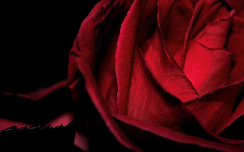 macro rose red wallpaper