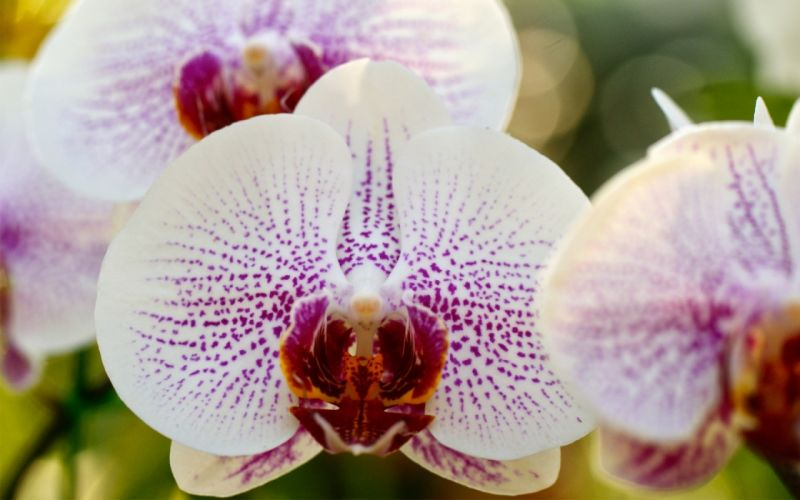 macro orchid phalaenopsis white spotted branch wallpaper