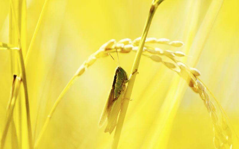 macro grasshopper light grass wallpaper