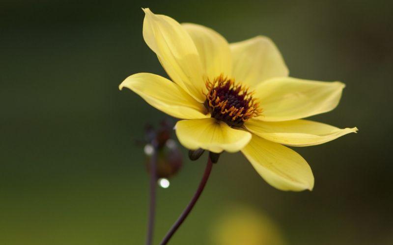 flower yellow close-up petals wallpaper