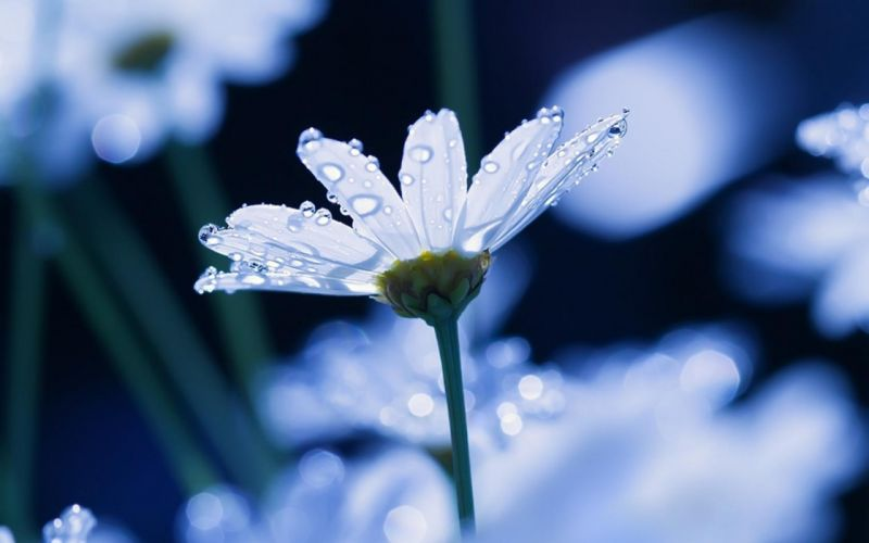 macro flowers daisy drops water wallpaper