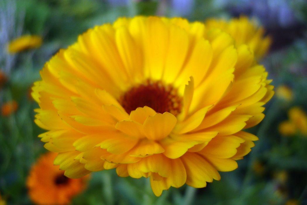 flower yellow petals close-up wallpaper
