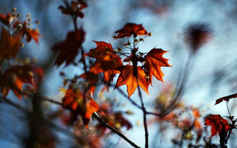 macro autumn maple bokeh nature leaves branches wallpaper