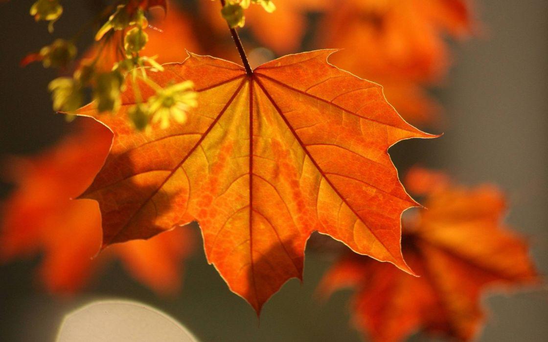 leaves autumn maple branch wallpaper