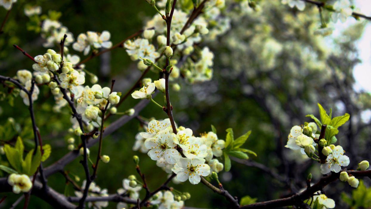 flowers flowering trees spring shade moist wallpaper