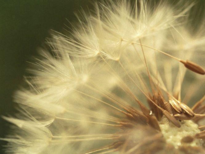 dandelion leaves light macro down wallpaper