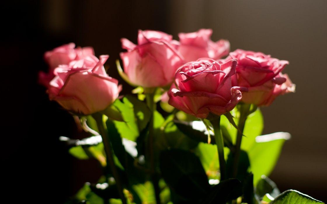 rose pink bouquet light leaves macro wallpaper