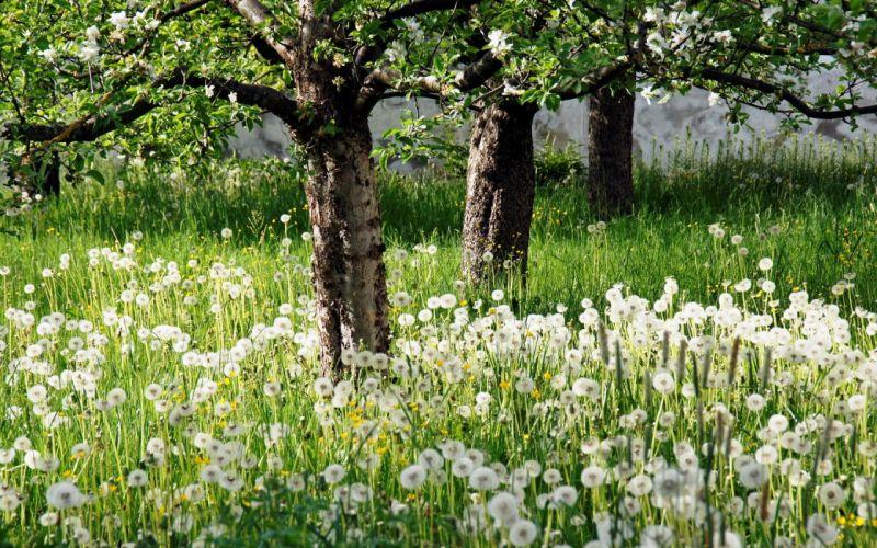 dandelions spring apple-trees flowering glade wallpaper