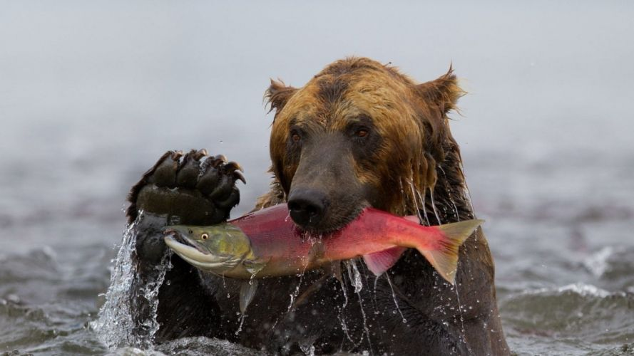 Fishing fish-bear-water-wet wallpaper