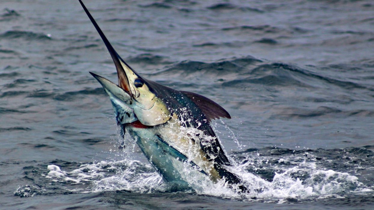 Fishing marlin-fish-animals-sea-water-sport wallpaper