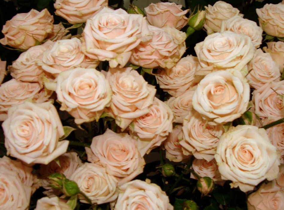 roses flowers tea buds many wallpaper