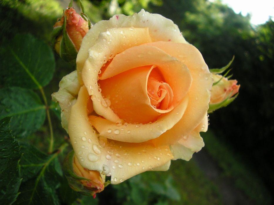 roses flowers buds leaves drops wallpaper