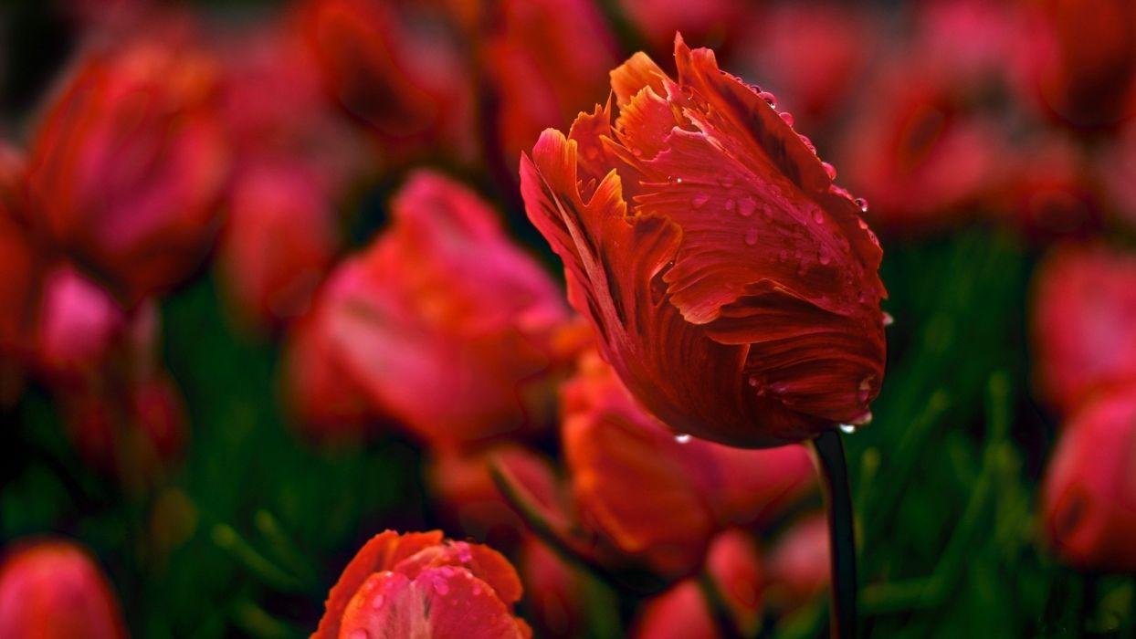 tulips flowers wavy glade drops dew wallpaper