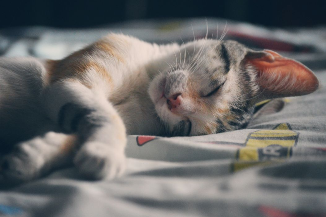 adorable animal beautiful cat charming concern cute domestic dream feline fur home indoor kitten kitty lovely mammal pet portraiture pretty relaxation sleeper sleeping tabby young wallpaper