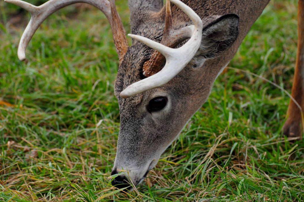 animal antlers buck close-up cute deer eating focus fur grass head horns mammal stag wild animal wildlife wallpaper