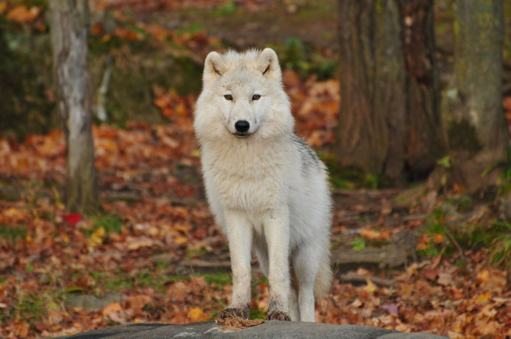 animal animal photography blur canidae canine close-up cute depth of field dog focus fur furry looking snout staring white wolf wild animal wild life wolf wallpaper