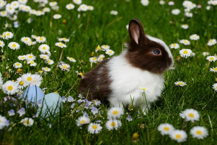 animal bright bunny chamomile close-up color cute easter easter bunny field flowers fur garden grass Happy Easter hare lawn little mammal nature outdoors pet rabbit season wallpaper