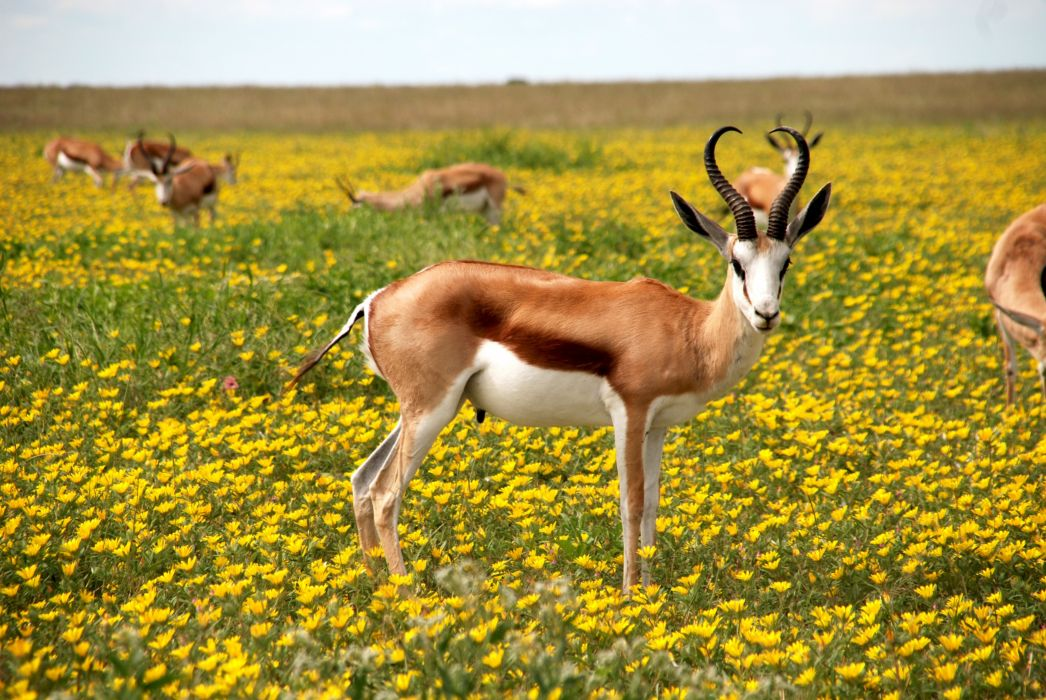 animals antelopes bloom blossom flora flowers horns meadow nature Springbok wildlife wallpaper