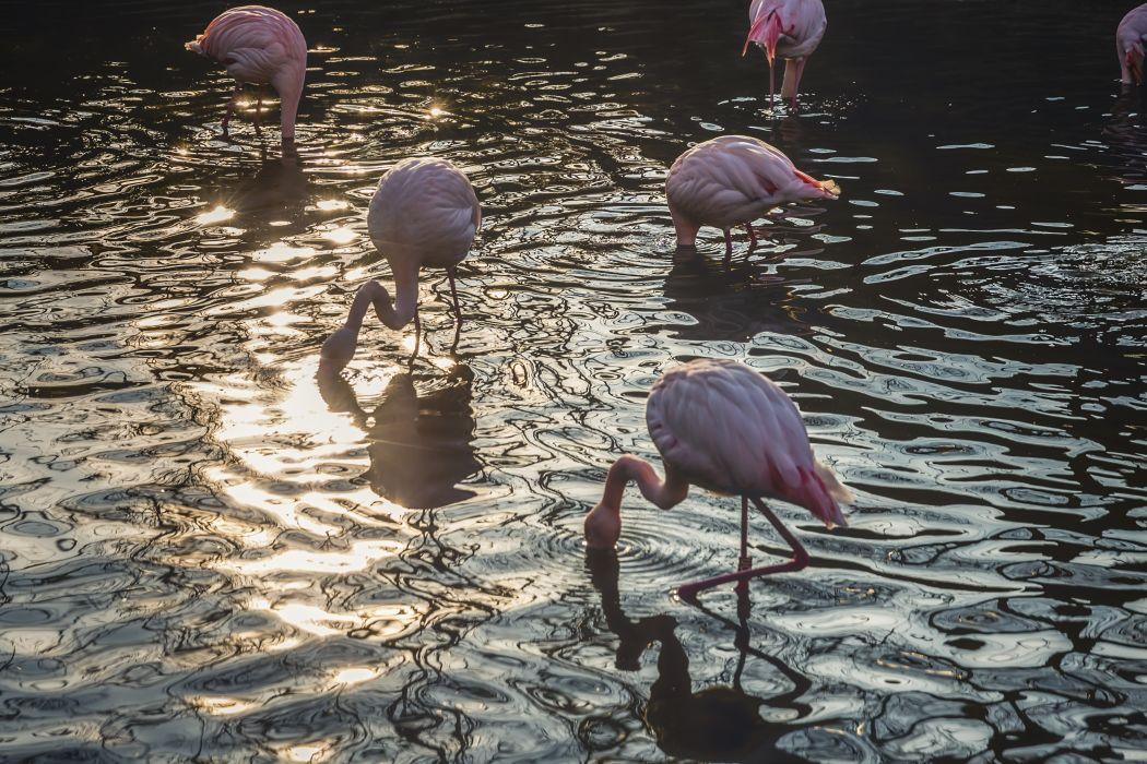 animals birds flamingoes water wildlife wallpaper