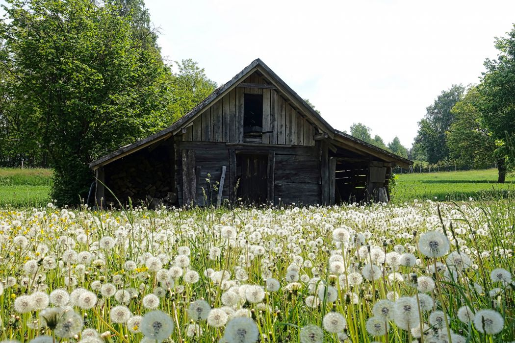 barn bloom blossom countryside dandelions farm field flora flowers grass outdoors rural shed wildflowers wooden wallpaper
