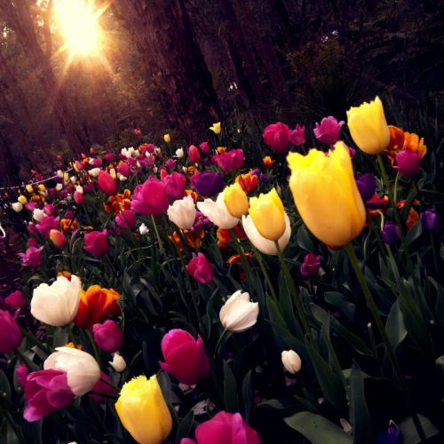beautiful bright colorful colourful delicate easter field flora flower bed flower garden flowers garden leaf outdoors park summer sun trees tulips vibrant vivid wallpaper