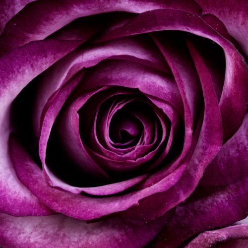 bloom blossom close-up flora flower petals plant purple rose wallpaper