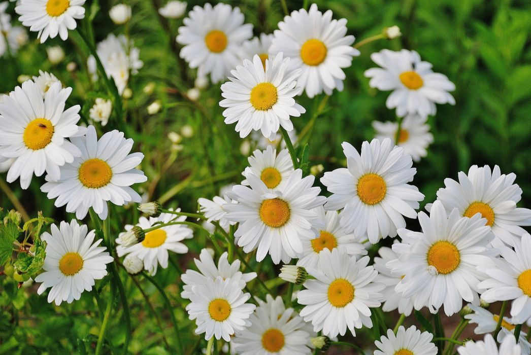 bloom blossom daisies daisy flora floral flower flowers garden marguerite nature plant spring white wallpaper