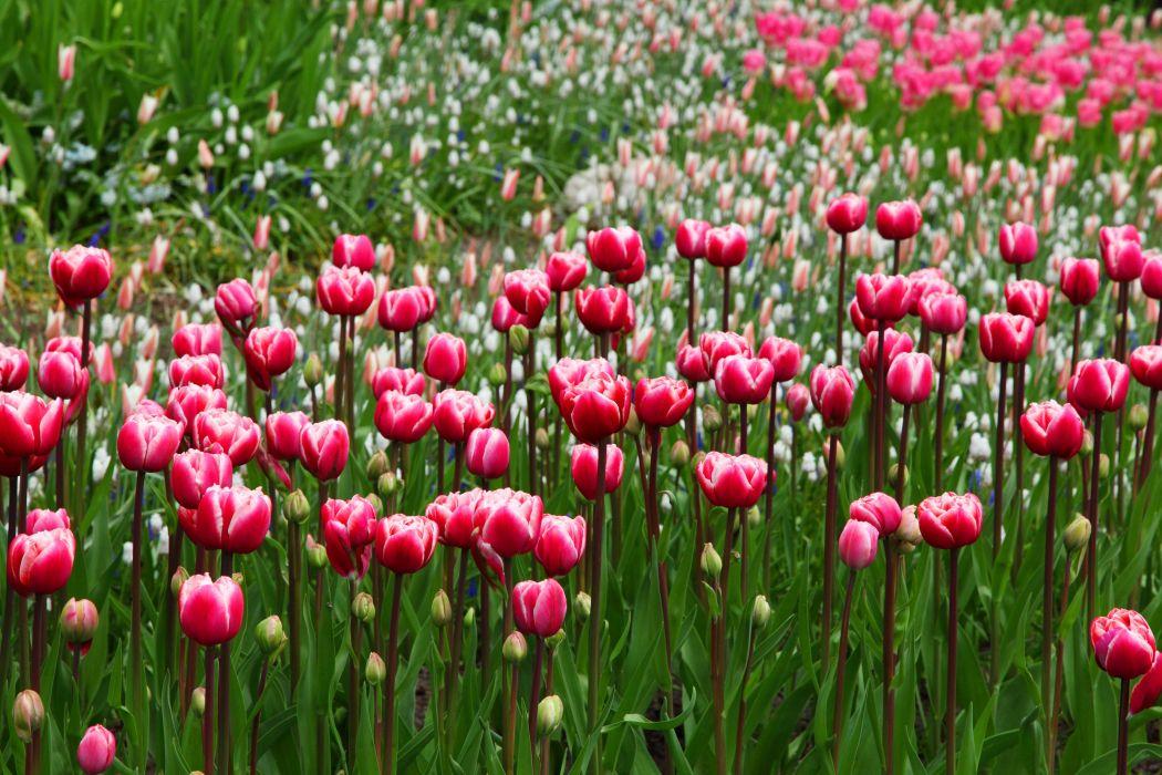 bloom blossom flora flowers nature tulips wallpaper