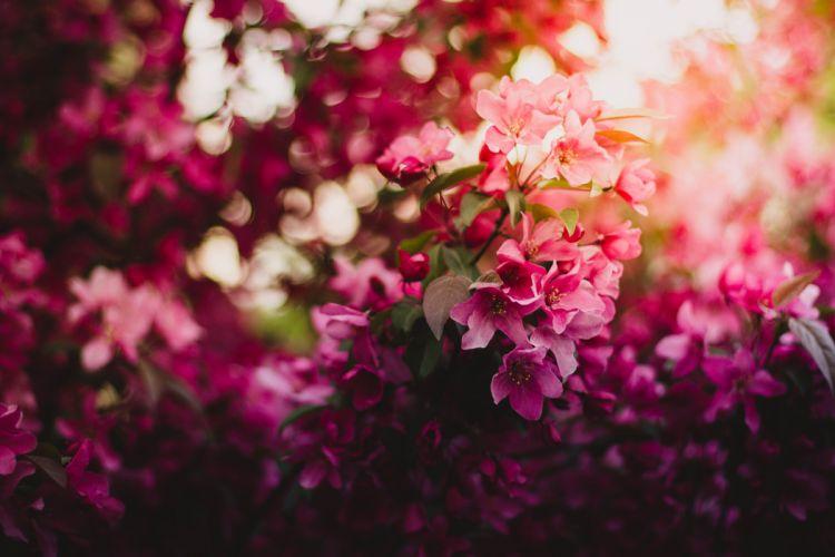 bloom blossom flora flowers nature pink wallpaper
