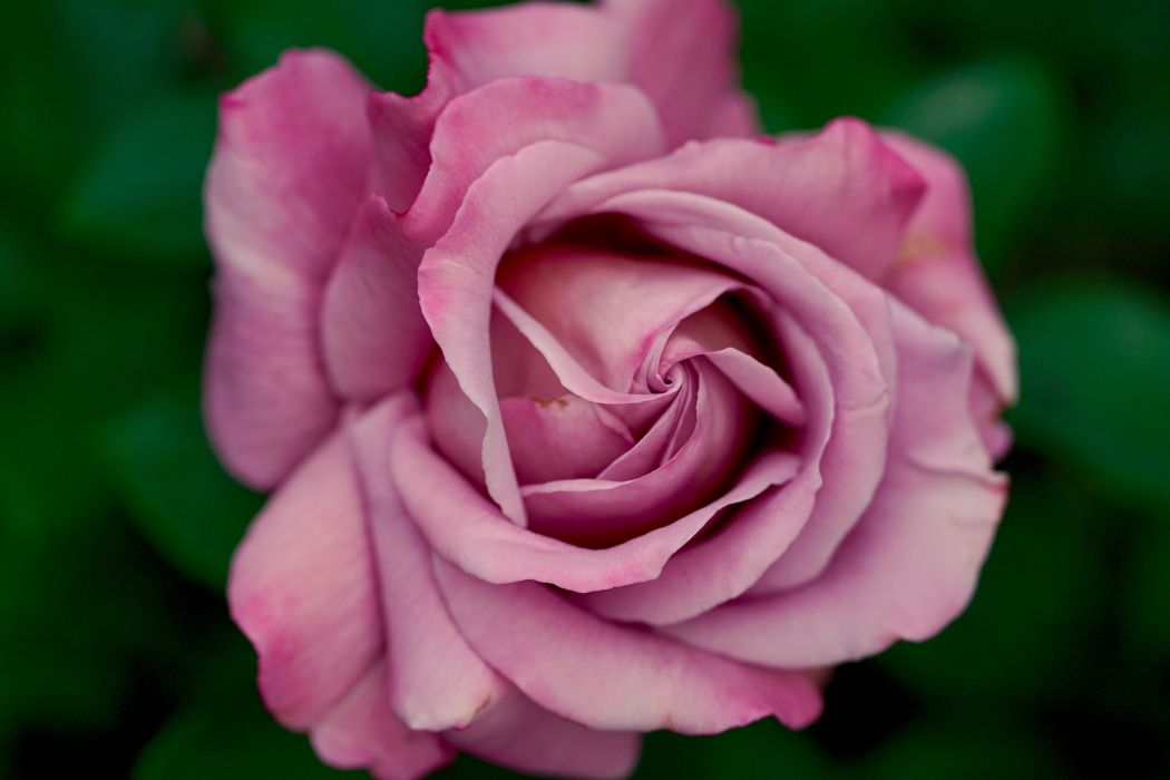 blooming blossom flower pink purple rose wallpaper