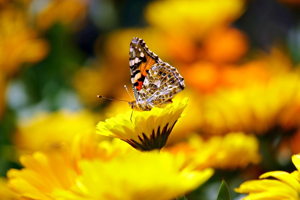 butterfly flowers insect macro nature pollination yellow wallpaper