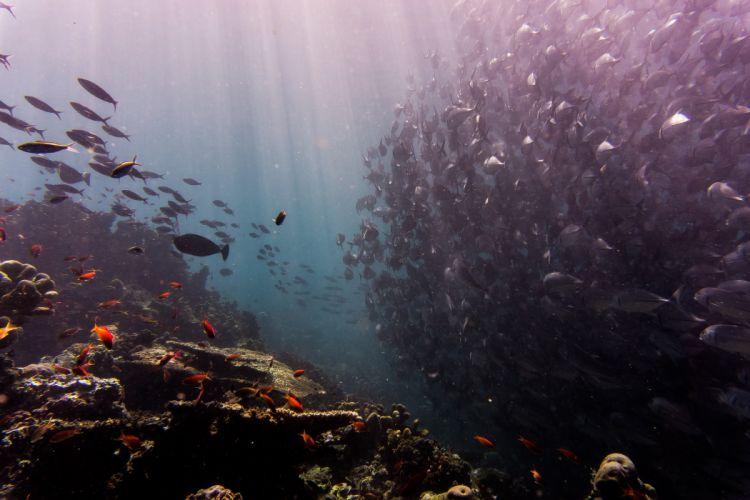 corals fishes ocean school of fish sea underwater water wallpaper