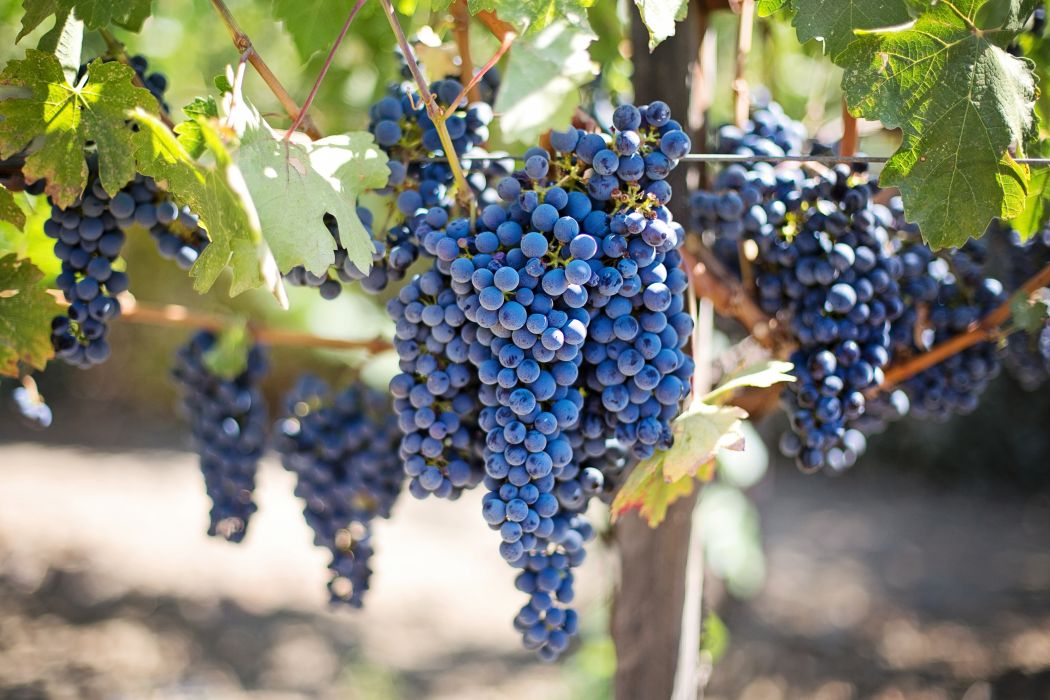 fruits grapes grapevines napa valley napa vineyard purple grapes vine vineyard wine grapes wallpaper