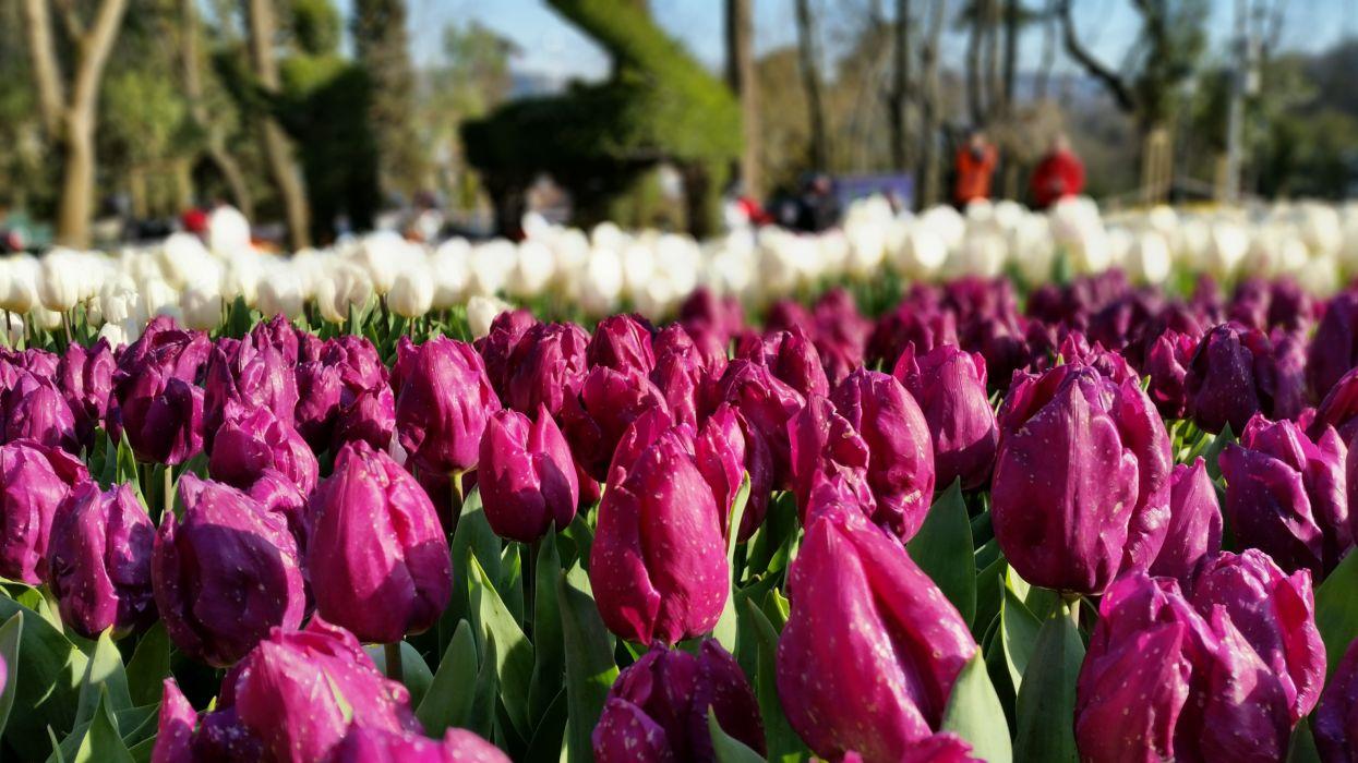 festival flora floral flowers Istanbul petals tulips wallpaper