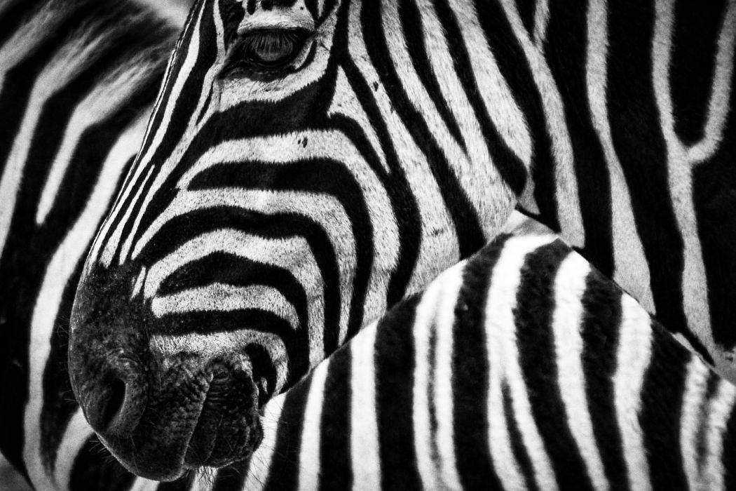animal animal photography black-and-white close-up macro stripes zebra wallpaper