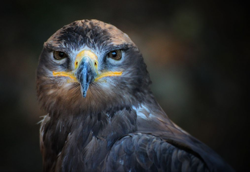 animal bird close-up macro owl wallpaper