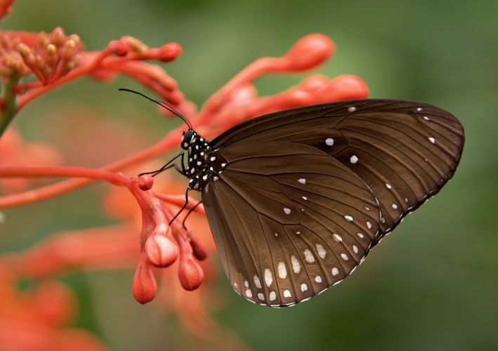 animal bug butterfly close-up flower insect macro nature stigma wildlife wings wallpaper