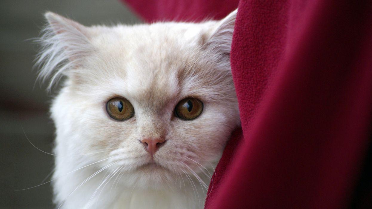 animal cat close-up cute feline macro pet white wallpaper