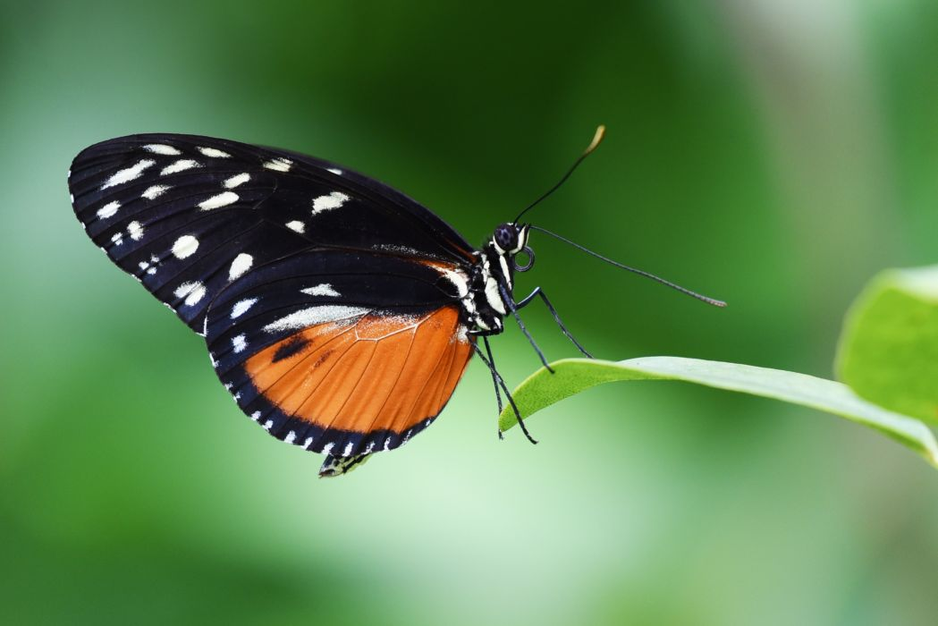 butterfly close-up insect leaf little macro nature wings wallpaper