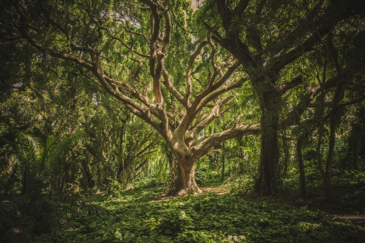 forest hawaii nature nature wallpaper park surreal trees wallpaper