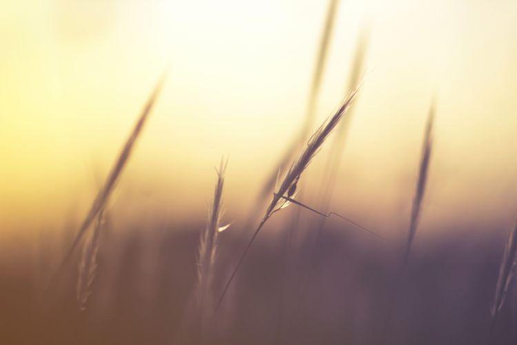 grass macro nature wheat wallpaper